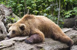 Medved na kosu lesa