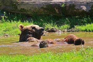 Medved, ki se kopa