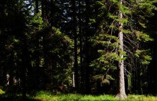 Gorski smrekov gozd