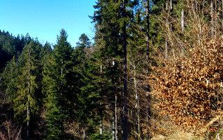 Pogled na iglasti gozd